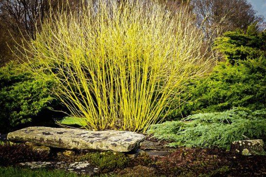 Yellow Twig Dogwood Tree