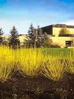 Yellow Twig Dogwood