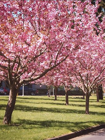 Kwanzan Cherry Trees In Park