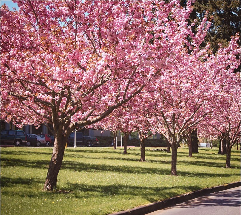 Kwanzan Cherry For Sale Online The Tree Center