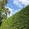 Leyland Cypress Hedged