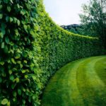 American Boxwood Privacy Hedge