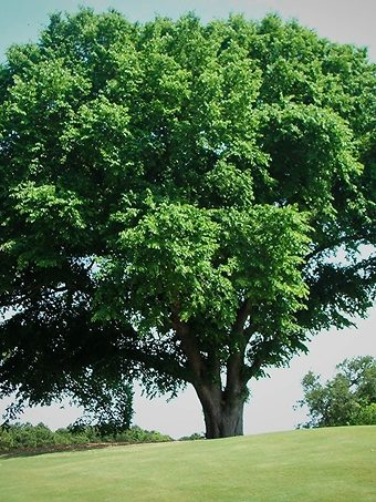 Huge American Elm Tree