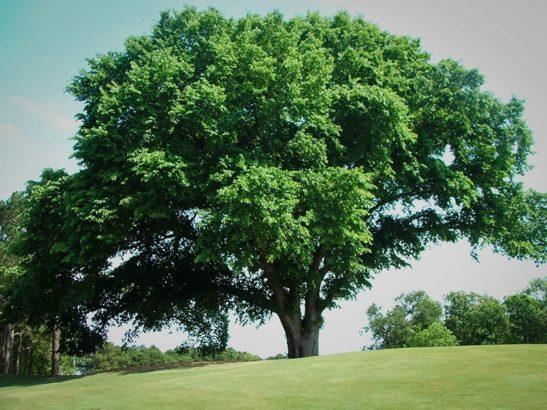 Huge American Elm Tree