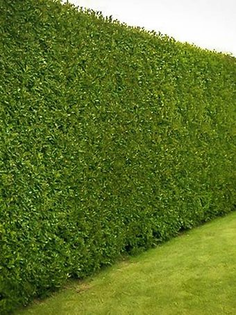 American Holly Hedge