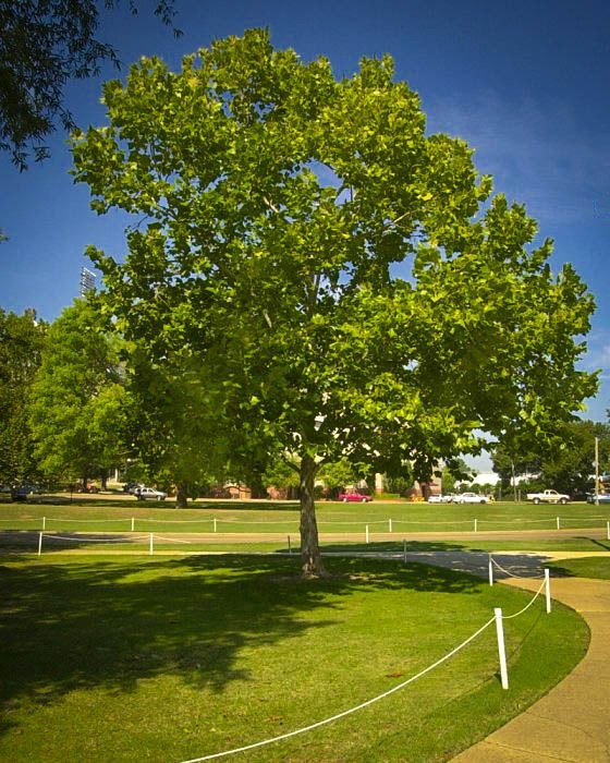 American Sycamore Tree In Park