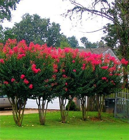 A row of Arapaho Crape Myrtle trees