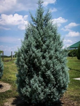 Drought Tolerant Evergreen Arizona Cypress