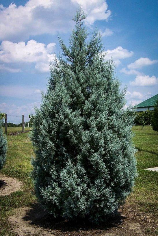 Drought Tolerant Evergreen Arizona Cypress