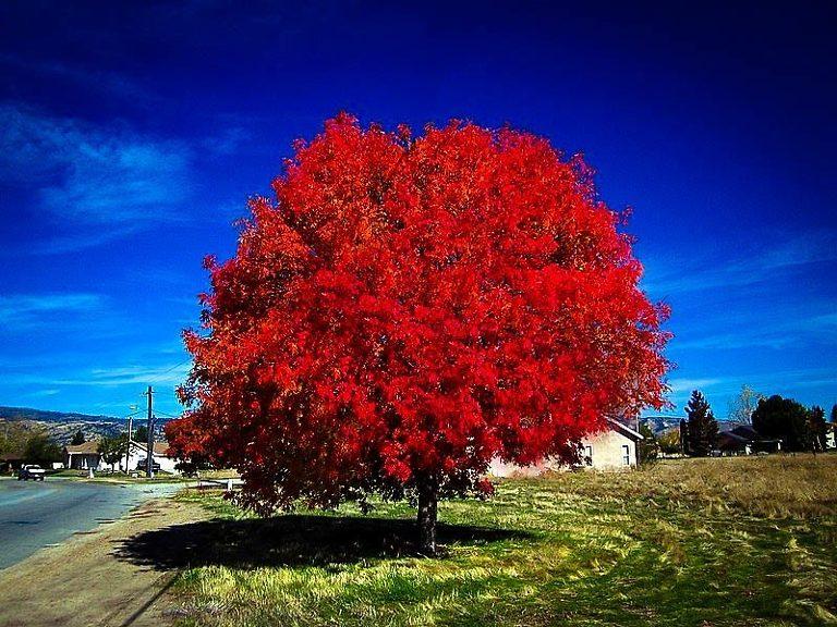 Autumn Blaze Maple Tree