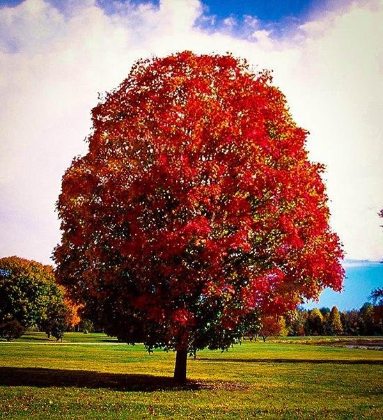 Autumn Blaze Maple Almost at Peak