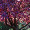 Autumn Purple Ash Leaves