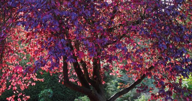 Autumn Purple Ash Leaves