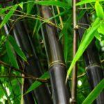 Black Bamboo Closeup