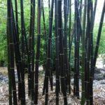 Black Bamboo Stalks