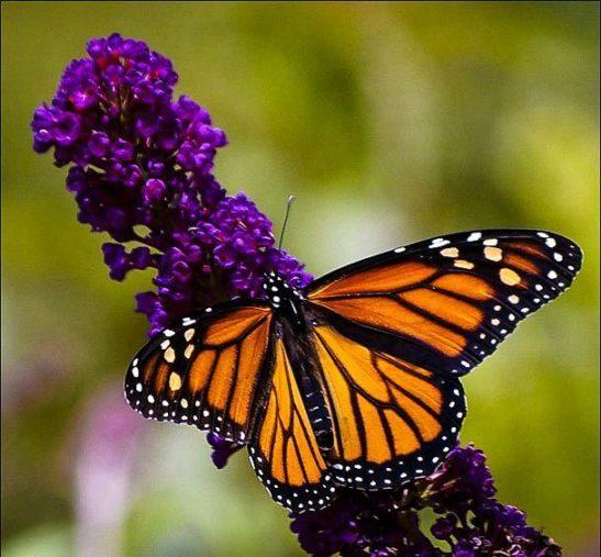 Black Knight Butterfly Bush Closeup