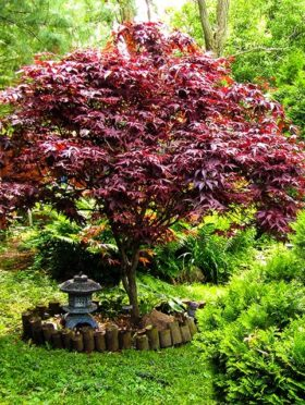 Japanese Bloodgood Maple Tree