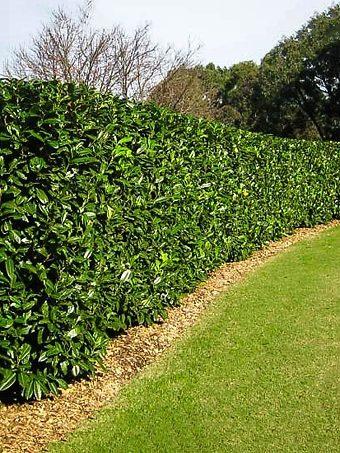 Cherry English Laurel Hedge
