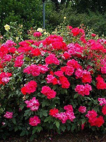 Double Knockout Rose Hedge
