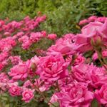 Row of Double Pink Knockout Rose bushes.