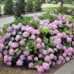 Fully grown Endless Summer Hydrangea