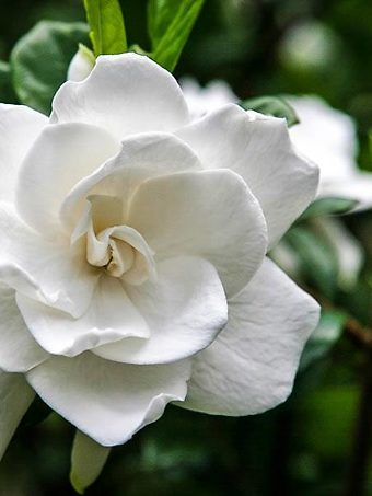 Frost Proof Gardenia Flower