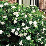 Frost Proof Gardenia Hedge