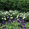 Frost Proof Gardenia Accent Hedge