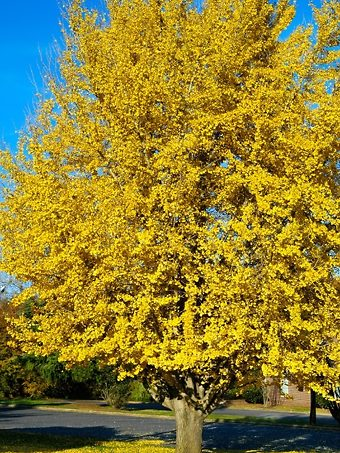 Ginkgo Tree Mature