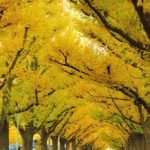 Canopy of Ginkgo Trees