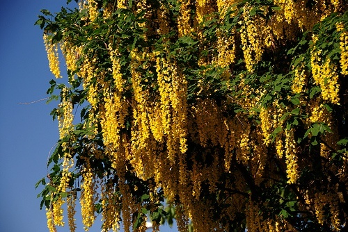 Golden Raintree Flowers