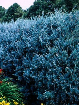 Buy Juniper Trees | Juniper Trees For Sale | The Tree Center