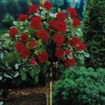 Mature Knockout Rose Tree