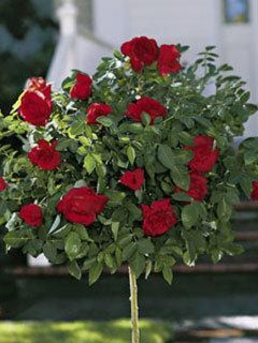 Knockout Rose Trees