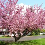 Mature Kwanzan Cherry Tree