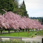 Kwanzan Cherry Trees on River Bank