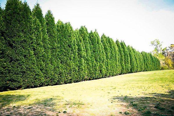 Row Of Leyland Cypress Trees