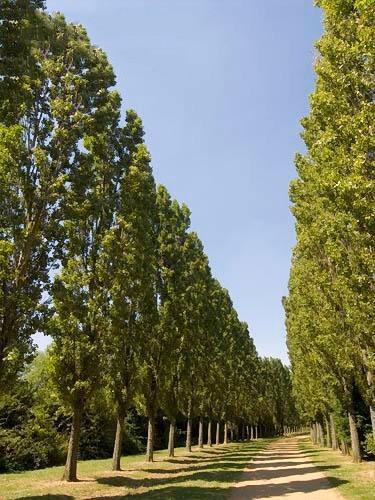 Lombardy Poplar Tree Lining Driveway
