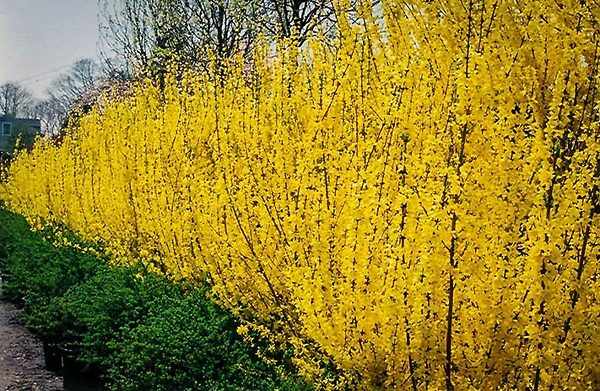 A row of Lynwood Gold Forsythia bushes in a hedge.