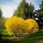 Lynwood Gold Forsythia Bushes Trimmed