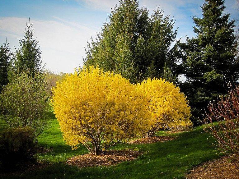 Lynwood Gold Forsythia Bushes Trimmed