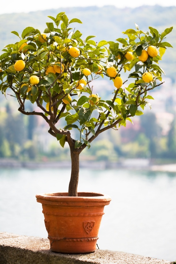 Meyer Lemon Tree For Sale Online The Tree Center