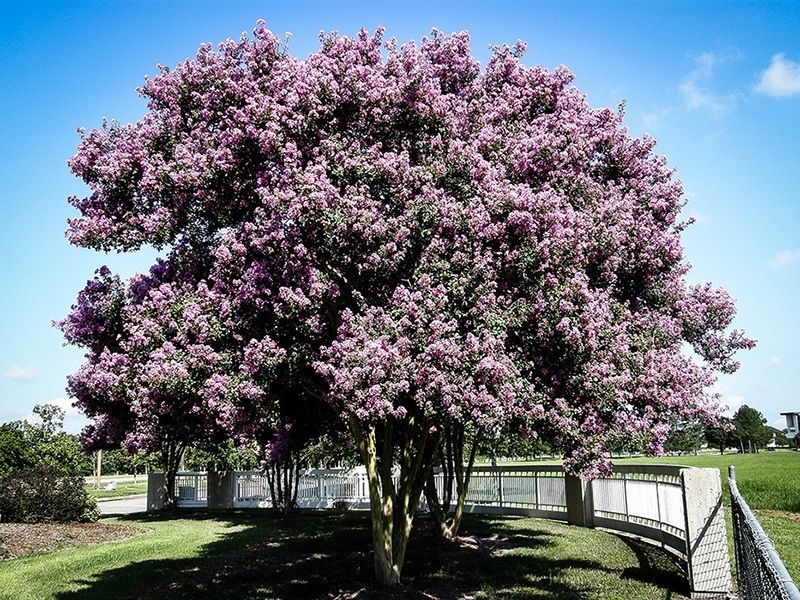 Buy Muskogee Crape Myrtle Online The Tree Center