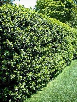 Privacy Trees | Buy Privacy Trees with Free Shipping | The