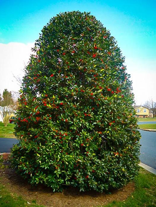 Holly Trees
