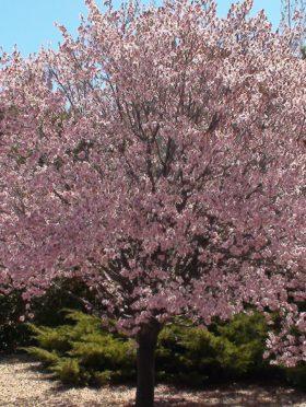Newport Flowering Plum Tree In Bloom