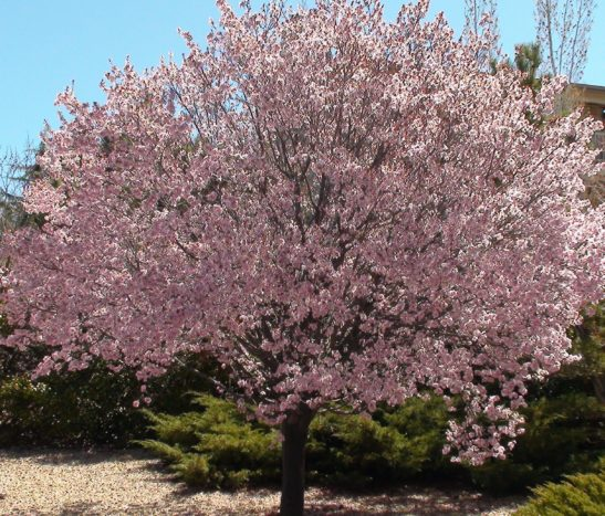 Newport Flowering Plum Tree In Bloom