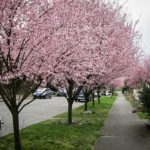Row of Newport Flowering Plum Trees