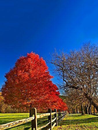 October Glory Maple Tree