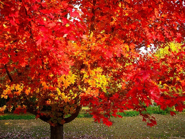 October Glory Maple in Fall